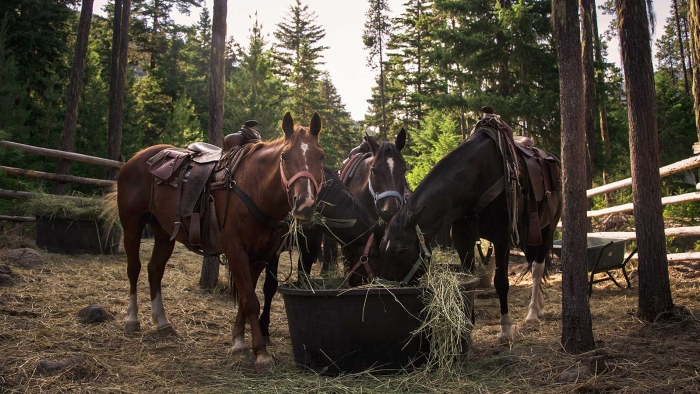 Three horses eating hay on a ranch in a forrest