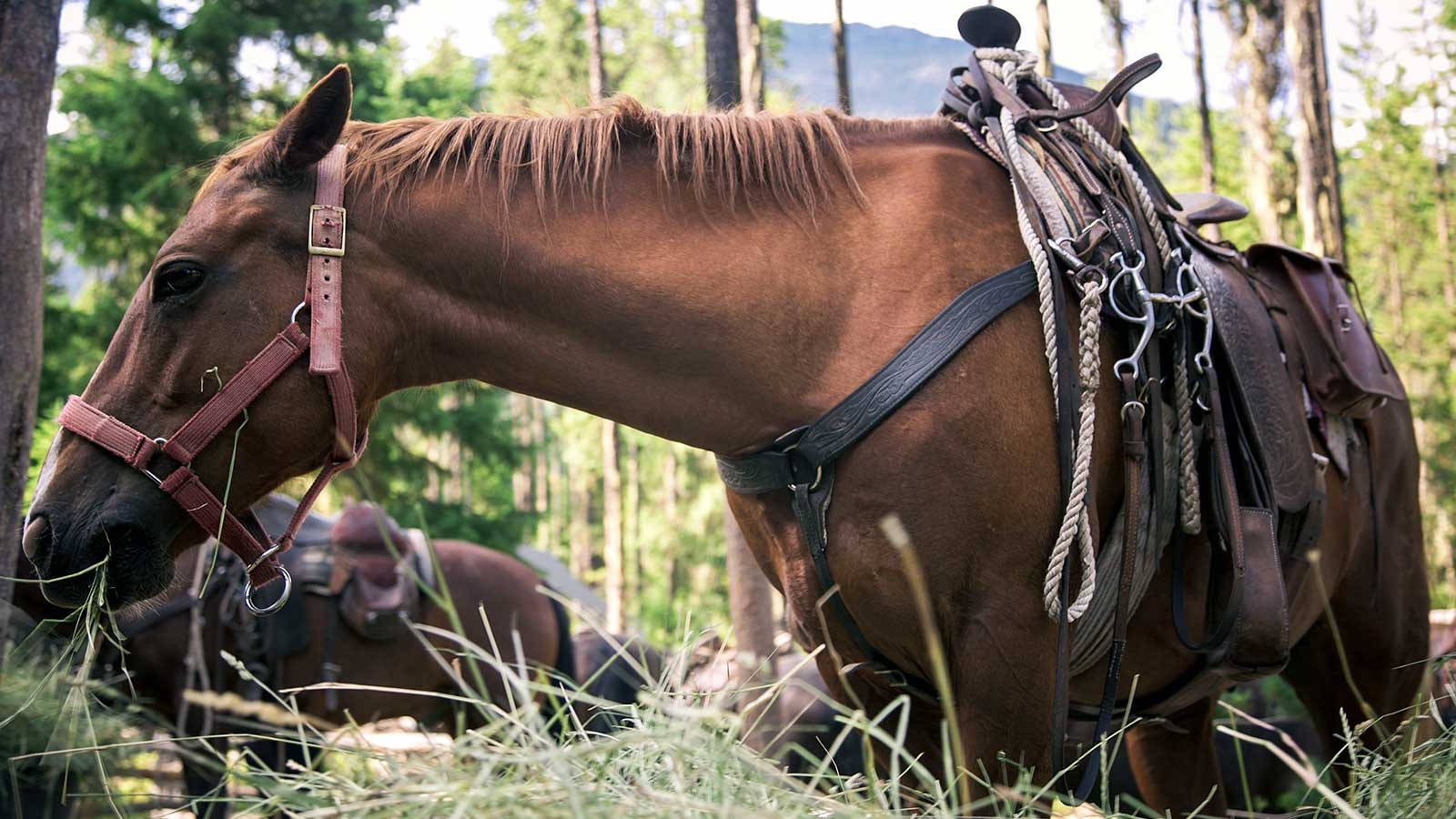 Horse with cowboy saddle eating hay with mountains in background