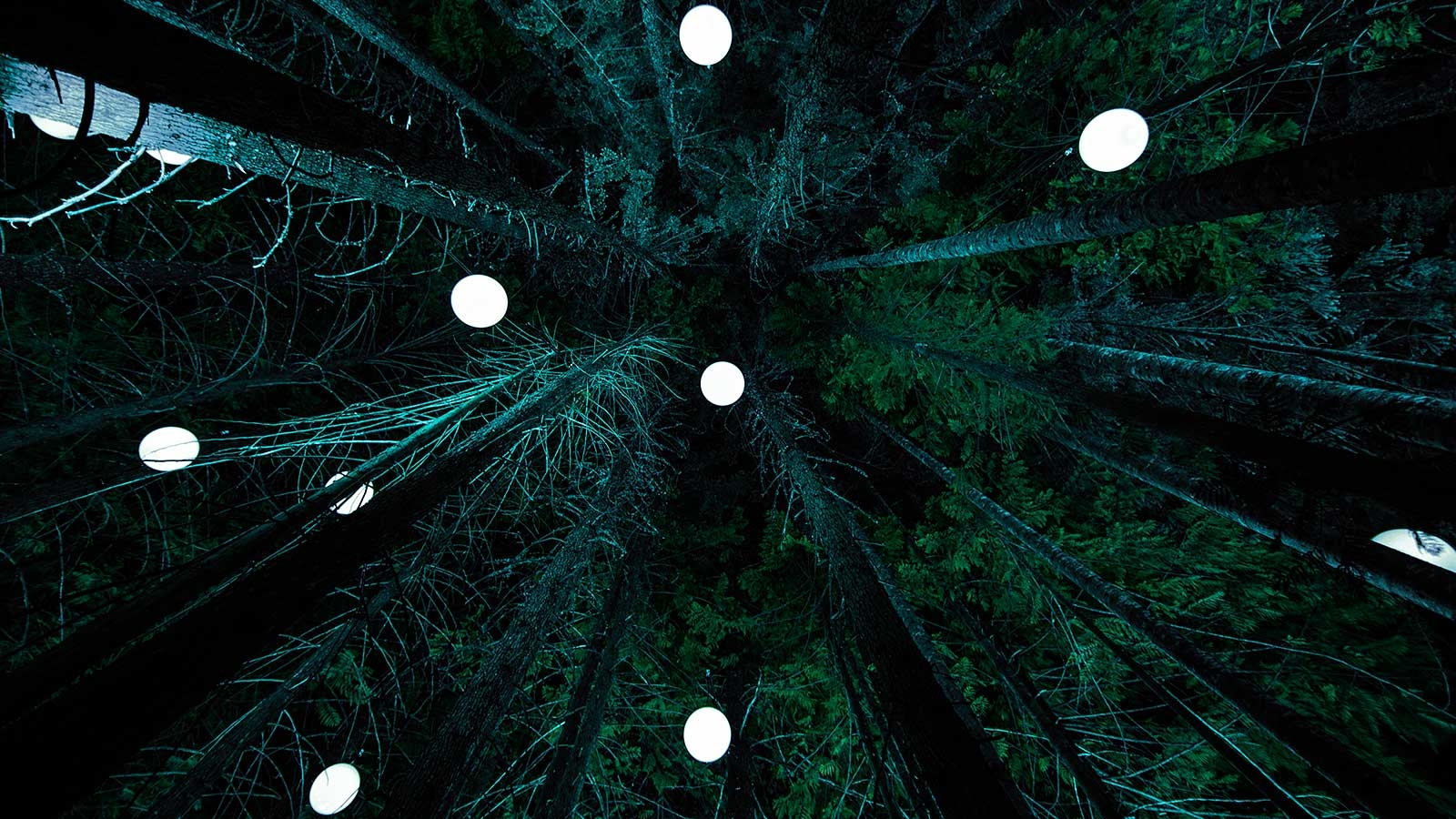 Dark Forrest view to the top of the tress with white lights hanging from the trees