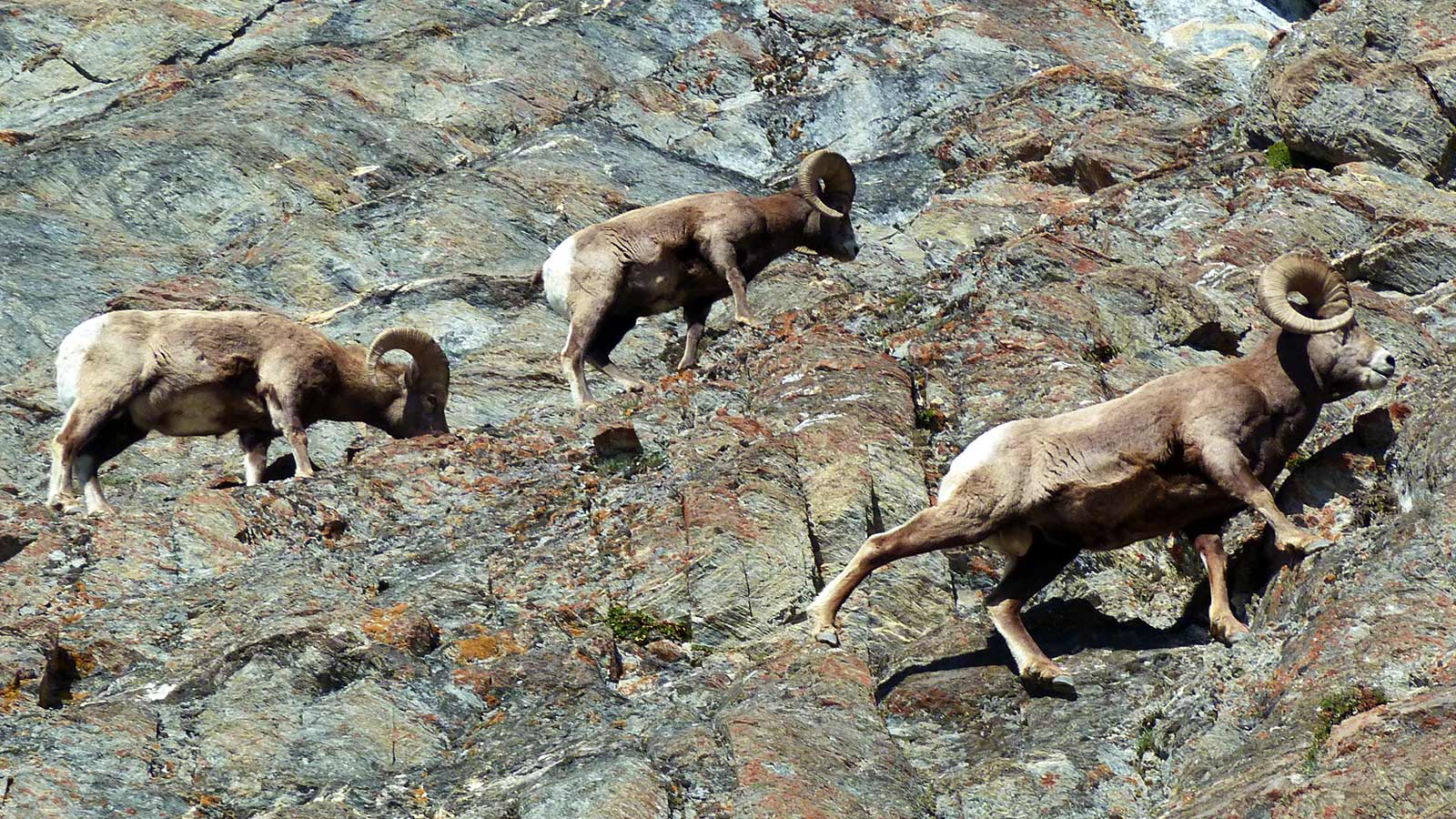 Bighorn sheep walking along a rocky cliff in Rocky Mountains Canada