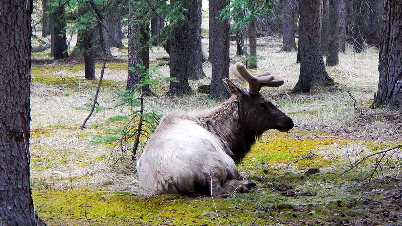Elk resting on ground in forrest at Rocky Mountains Canada