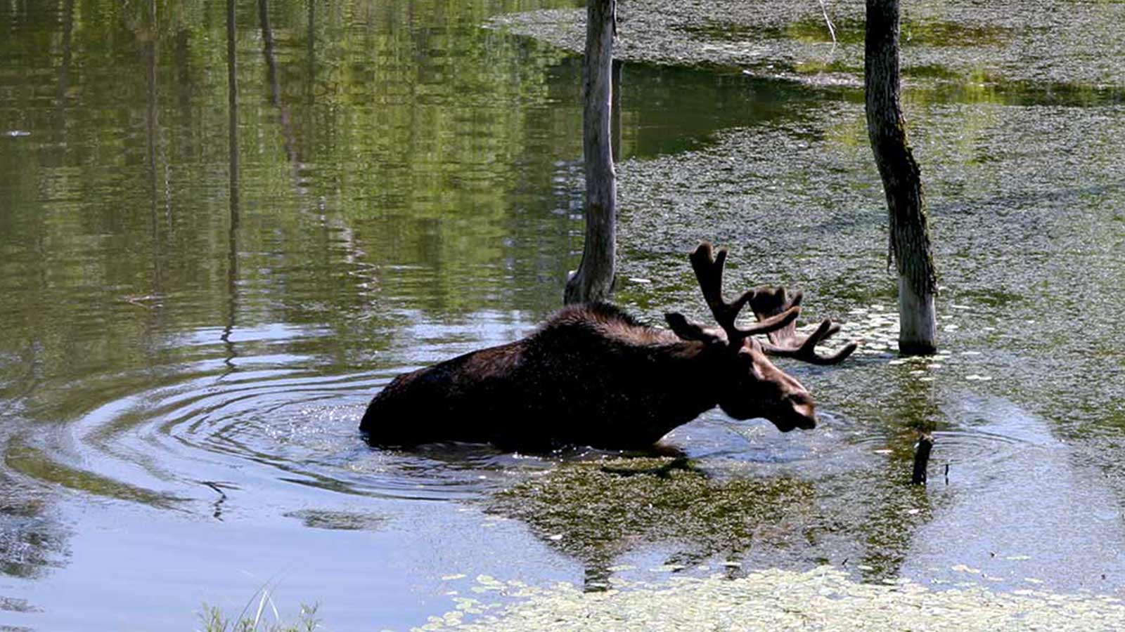 Moose wading through water in canada